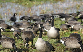 Geese_on_grass